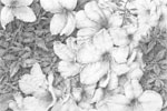 Azaleas for Sylvie