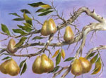 Pears on the Blueridge